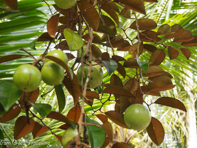 A tree of milk apples.