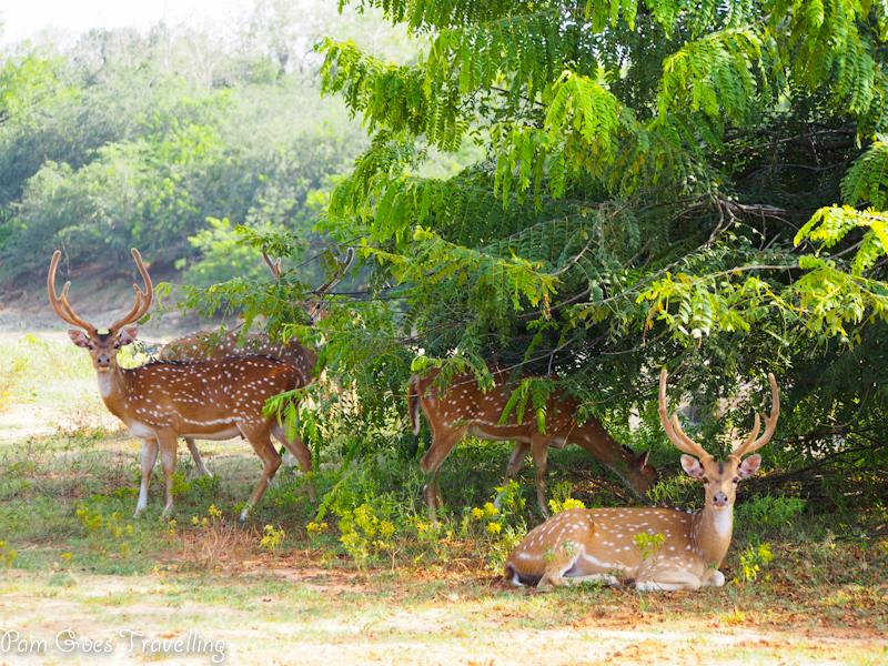 Endearing dears at Yala National Park