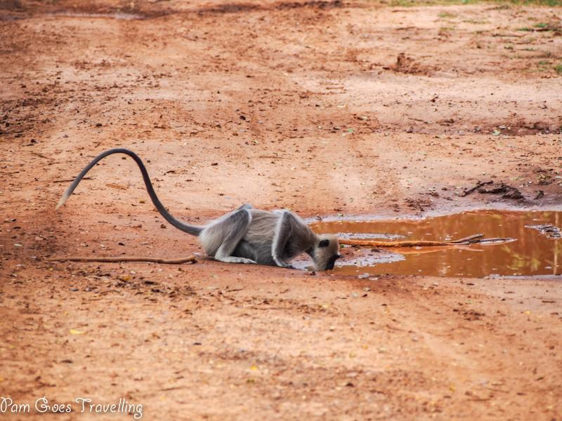 Sri Lanka Safari Experience Monkey