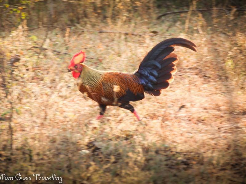 Sri Lanka Safari Experience Rooster