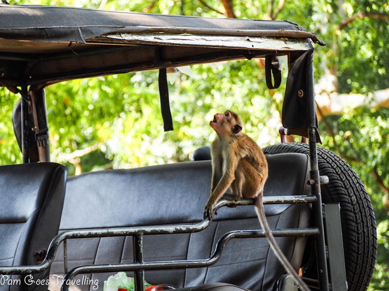The playful monkey at Yala National Park