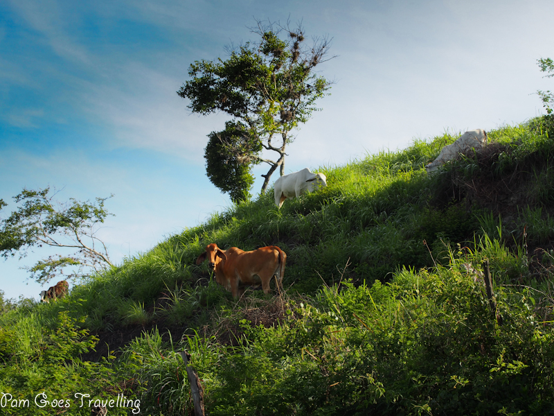 Cow spotted along the way from Barichara to Guane
