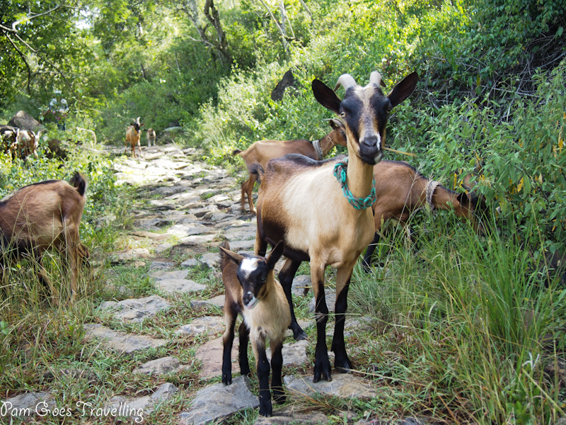 Roaming free goats