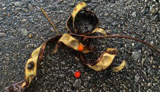 Saga seeds